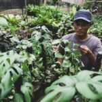 Kenalkan Inilah Janda Bolong, Tanaman Sultan Senilai Ratusan Juta, Rp100 Juta per Pohon, Rp15 Juta per Daun