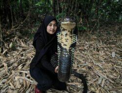 Viral di Medsos, Gadis Bandung Ini Pamer Atraksi Bareng King Cobra 4 Meter