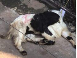 Viral Kambing Syok 'Pura-pura Mati' Lihat Kawan Disembelih, Warganet Hujat Panitia Kurban