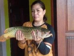 Ikan Arwana Puluhan Juta Lepas Terseret Banjir, Jadi Santapan Warga di Kalbar